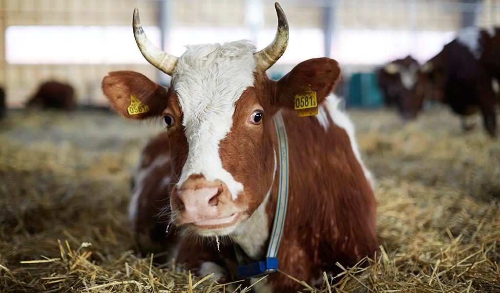 Biodynamisk ko på Yttereneby Gård